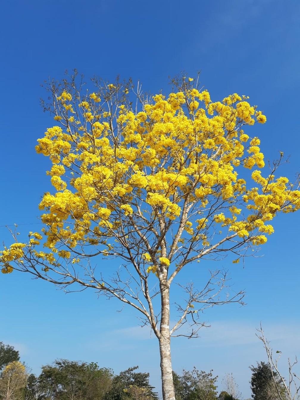Ipê amarelo florido em São Francisco do Guaporé — Foto: Juliana Lunas Linhares/Arquivo Pessoal