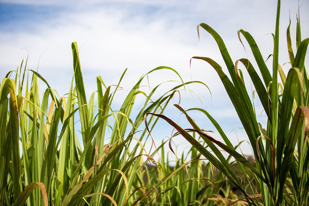 Cana-de-açúcar — Foto: Unica