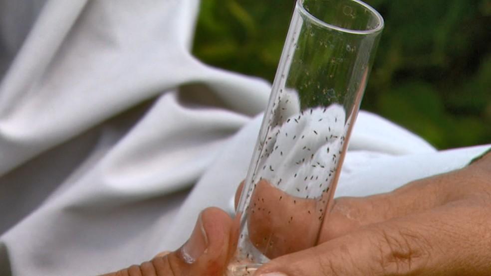 Vespinha é usada por citricultores para combater inseto que transmite doença. — Foto: Reprodução EPTV