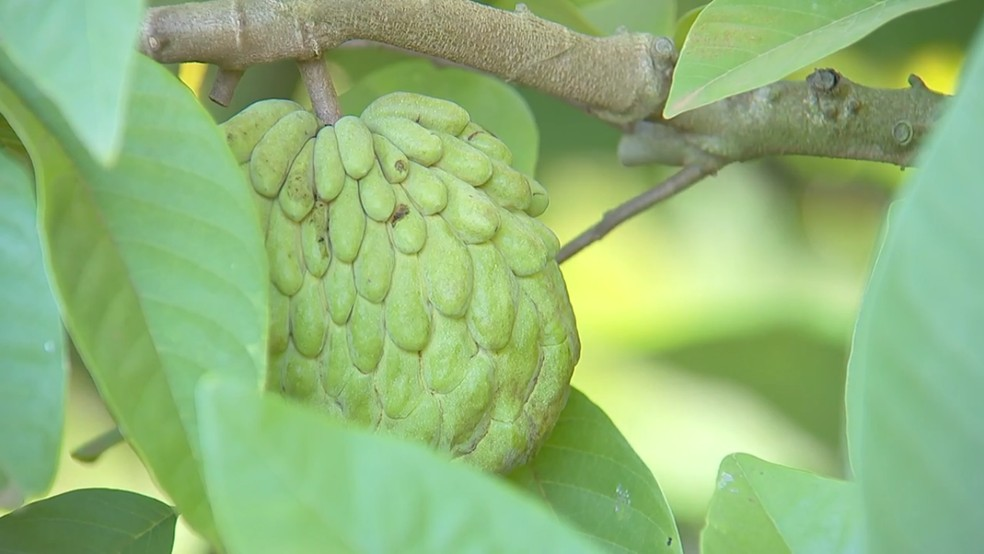 Atemoia producers can't export the fruit — Photo: TEM Reproduction/TV