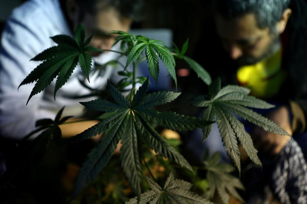 Maconha é cultivada em fundação em Santiago, no Chile. Estudo avaliou que canabidiol é eficaz contra forma rara de epilepsia  — Foto: Reuters/Ivan Alvarado