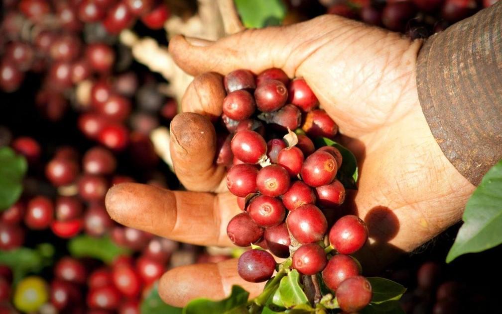 Produção na região da 'Alta Mogiana' chegou a 3 milhões de sacas de café em 2018 — Foto: Divulgação