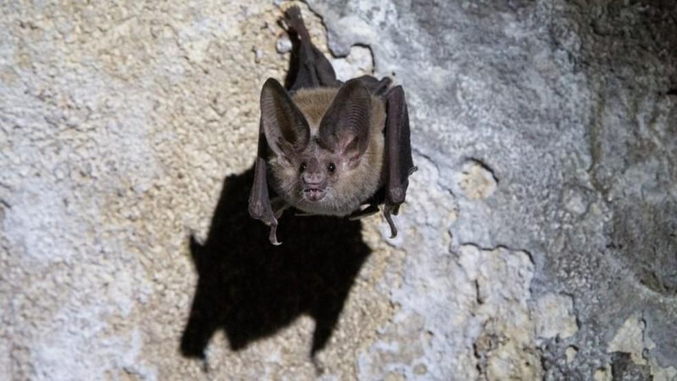 Morcegos-vampiros são animais sociais que gostam de cuidar uns dos outros e compartilhar comida — Foto: Getty Images via BBC