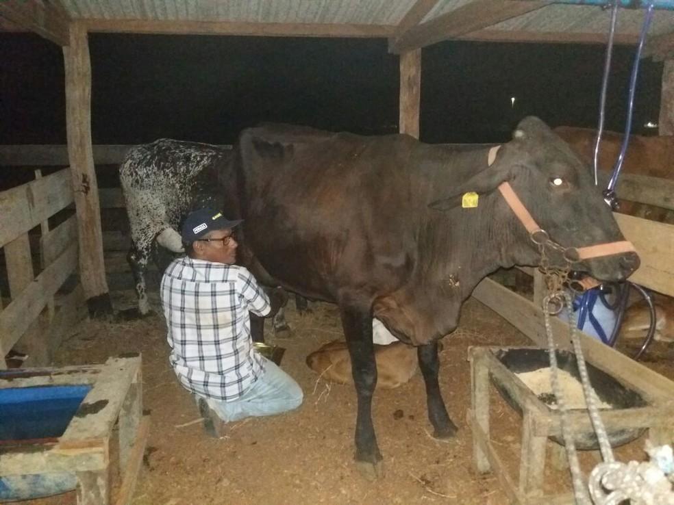 Houve um crescimento gigantesco na quantidade do rebanho bovino da cidade (Foto: Emater-RO/Divulgação)