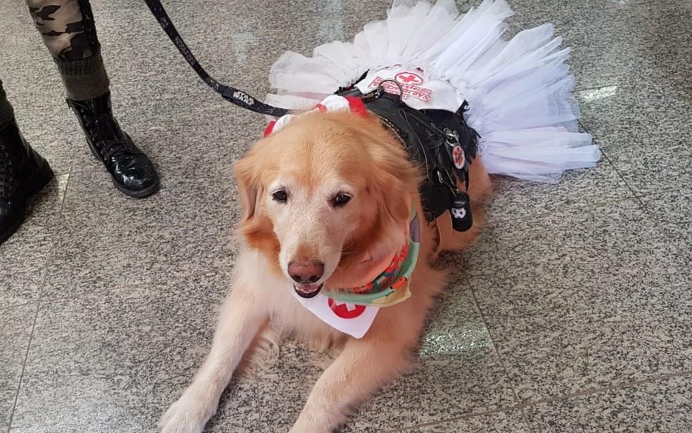 Golden Laika Triciclo faz parte dos cães 'terapeutas', em Goiânia, Goiás — Foto: Yanka Araújo/TV Anhanguera