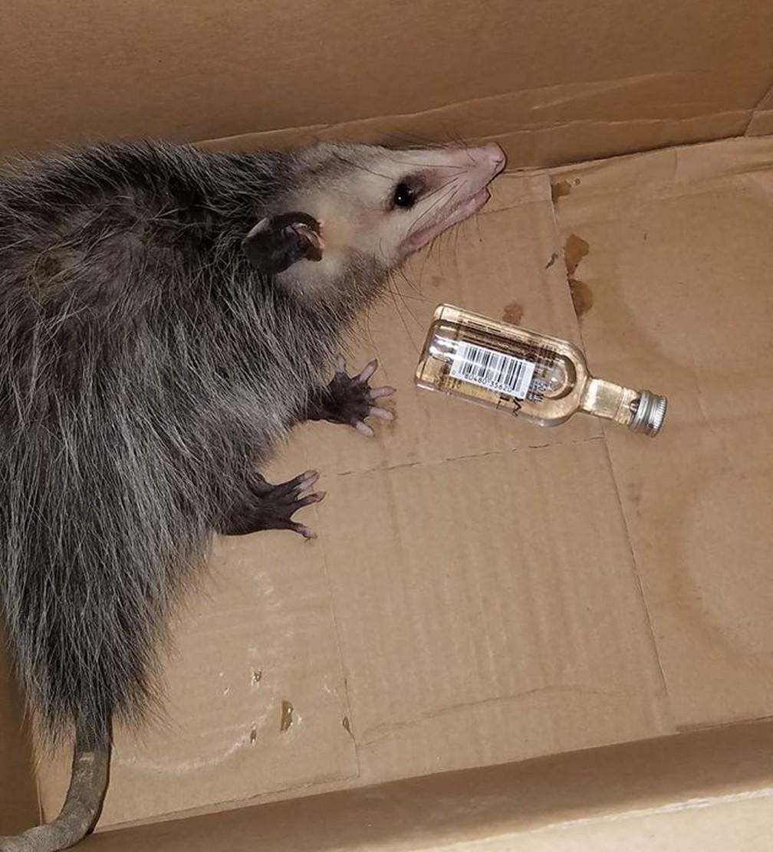 Gambá invade loja de bebidas na Flórida e se embriaga de bourbon (Foto: Emerald Coast Wildlife Refuge/Facebook)