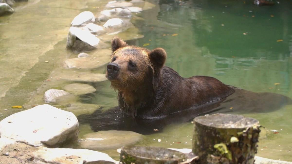 Fantástico acompanha transferência de ursa para santuário ecológico após 18 anos morando em zoológico
