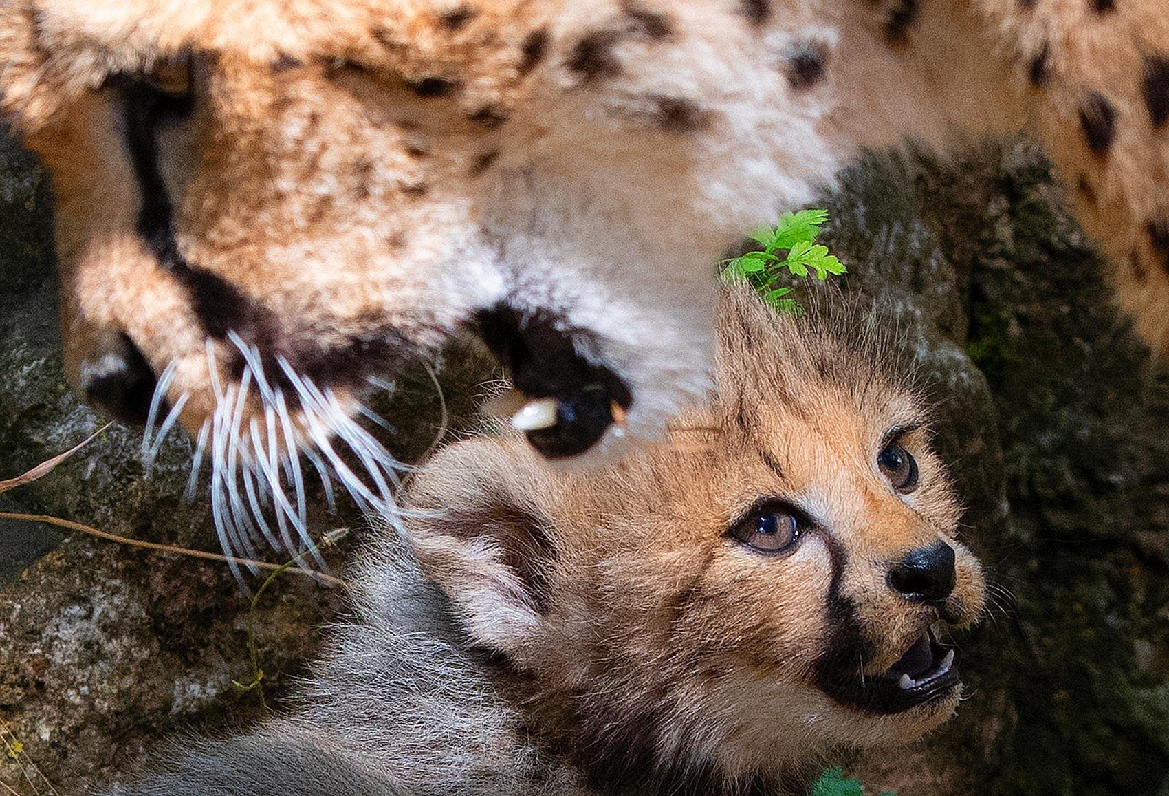 Zoo apresenta filhotes de guepardo na Alemanha