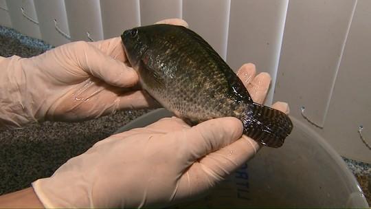 Pesquisa estimula criação de tilápia no Paraná