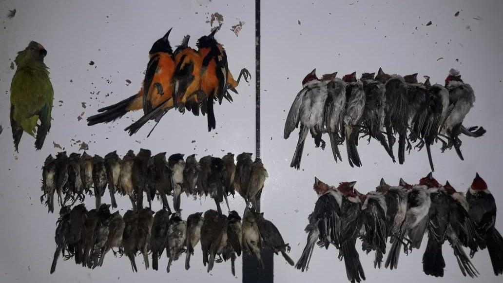 PRF apreende 800 aves silvestres dentro de carro em Canapi, AL