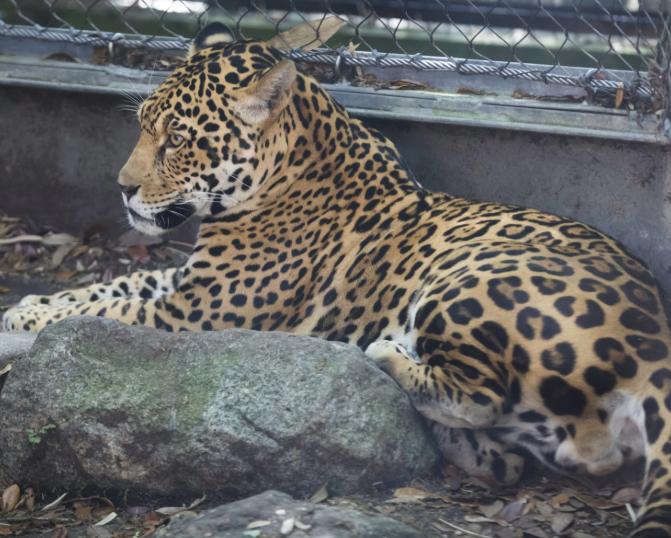 Jaguar Valerio nasceu em San Diego em 2015 e foi transferido para Nova Orleans em outubro de 2017 (Foto: Reprodução/Facebook)