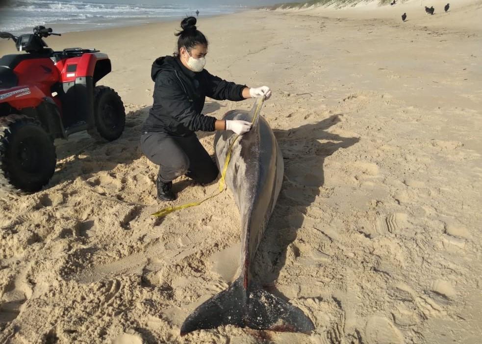 Golfinho-nariz-de-garrafa é encontrado morto em praia de Florianópolis; forte impacto na cabeça pode ter sido a causa do óbito