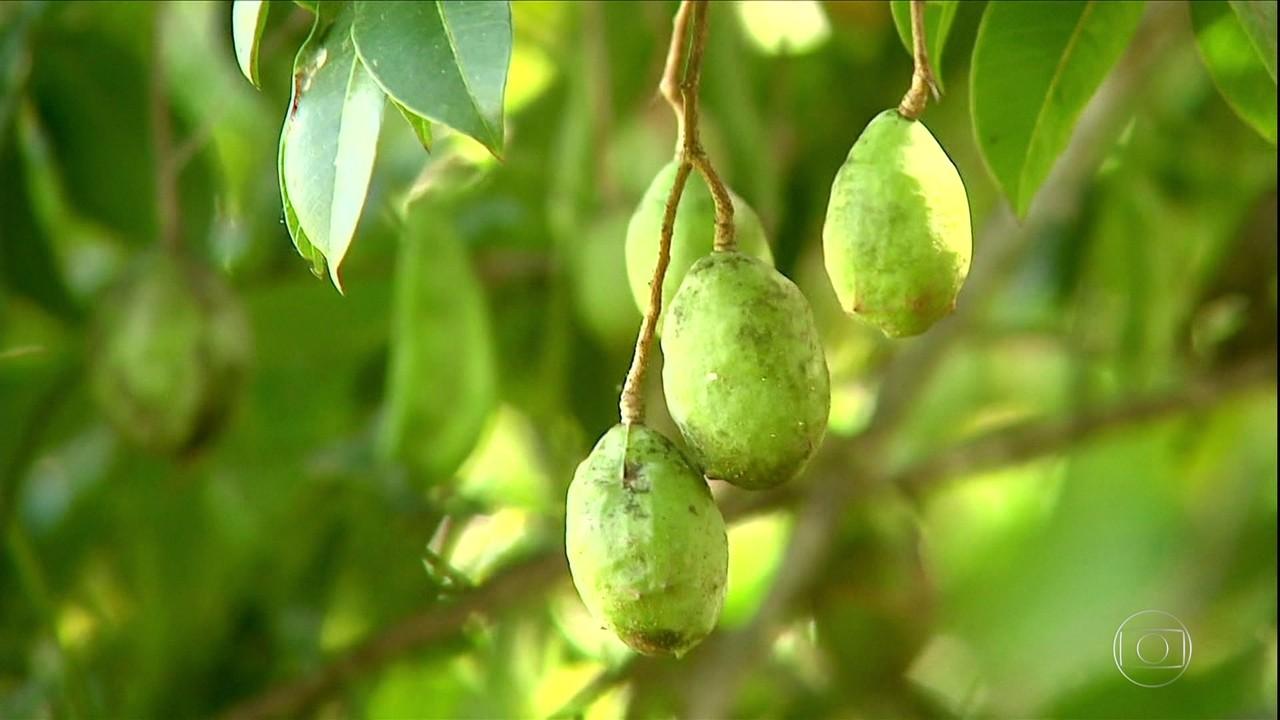 Safra de umbu-cajá cresce mais de 60% no sertão de Alagoas