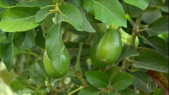 Abacate é aposta de produtores do Vale do Rio São Francisco