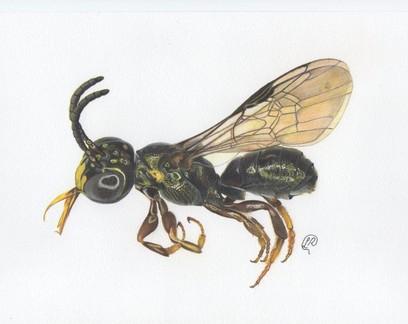 Nova espécie de abelha é descoberta em fazenda de Goiás