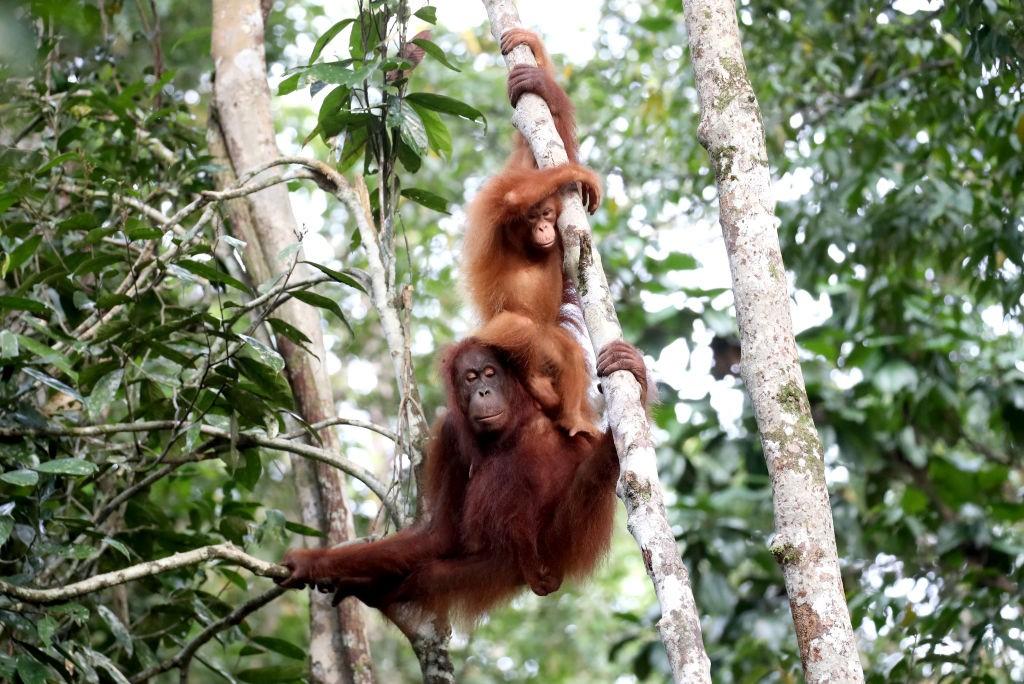 Orangotangos em centro de recuperação na Malásia (Foto: Chris Jackson/Getty Images)