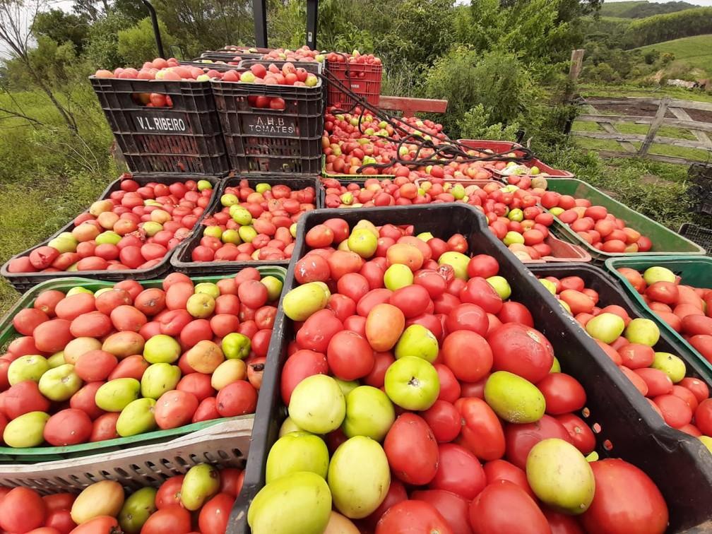 Lavrador recolhe tomates descartados às margens de estrada em Ribeirão Branco (SP) para alimentar animais — Foto: Caio Nogueira/TV TEM