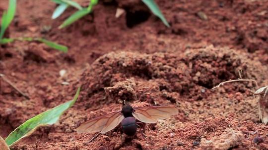 Formiga tanajura é iguaria para os moradores da região da Serra da Bocaina