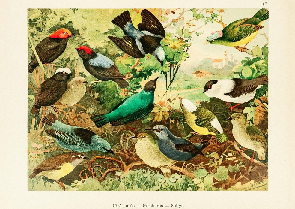 Algumas das aves mais coloridas da Amazônia. Além de diversas espécies de tangarás (família Pipridae), a ilustração também inclui quatro espécies de saí e a cambacica (família Thraupidae). — Foto: Ernesto Lohse/Arquivo Pessoal