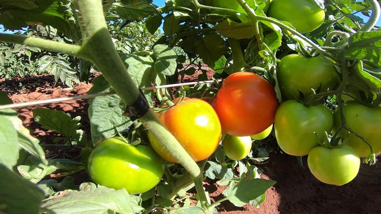 Cultivo de tomate junto com goiabas ajuda no aumento da produção em Barreiras