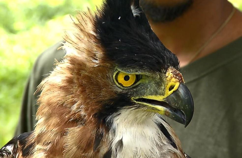 Gavião-de-penacho é ave imponente que está ameaçada de extinção (Foto: Terra da Gente)