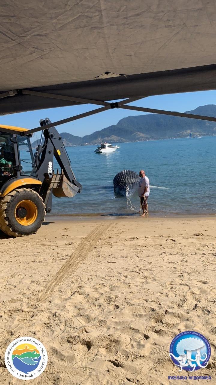 Filhote de baleia jubarte é encontrado morto em canal de Ilhabela