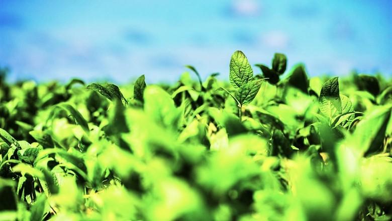 Folhas de plantação de soja (Foto: Getty Images)