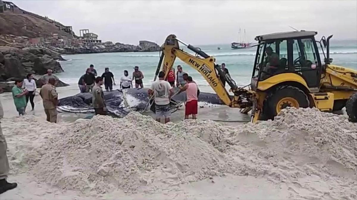 Mutirão é realizado para salvar baleia encalhada em Arraial do Cabo, no RJ