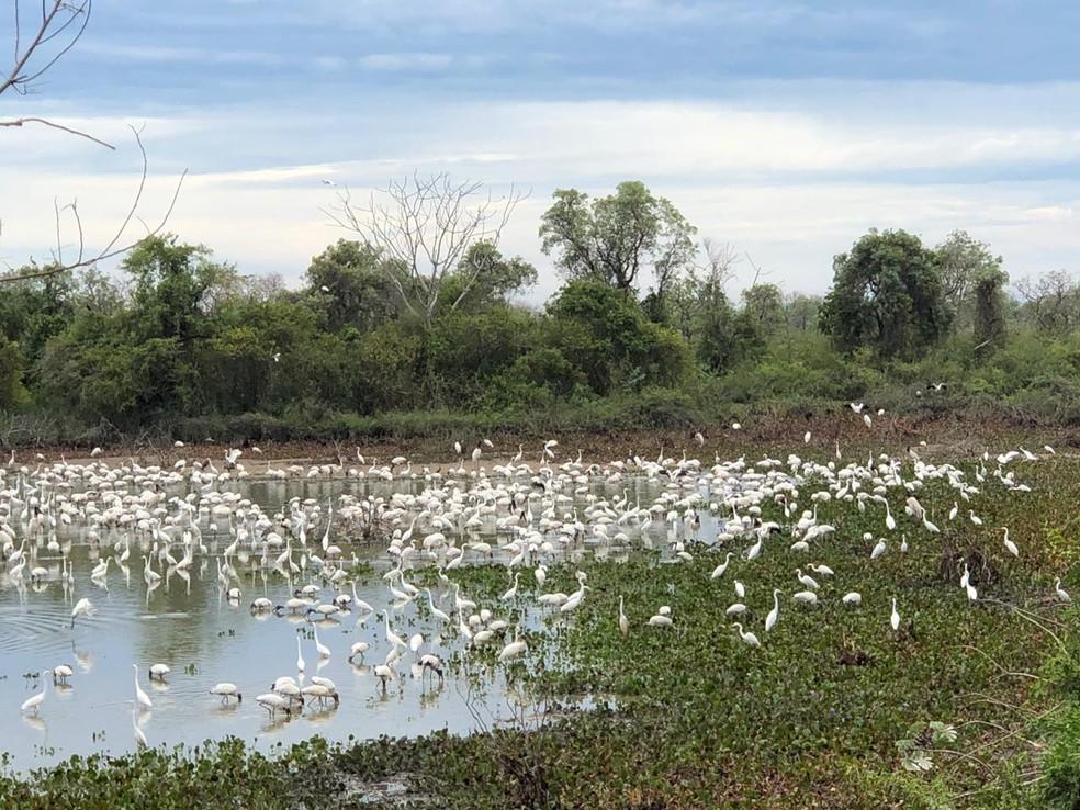 Garças reaparecem em busca de alimento em lago do Pantanal de MS após período de queimadas. — Foto: Bruno Girotto/Arquivo pessoal