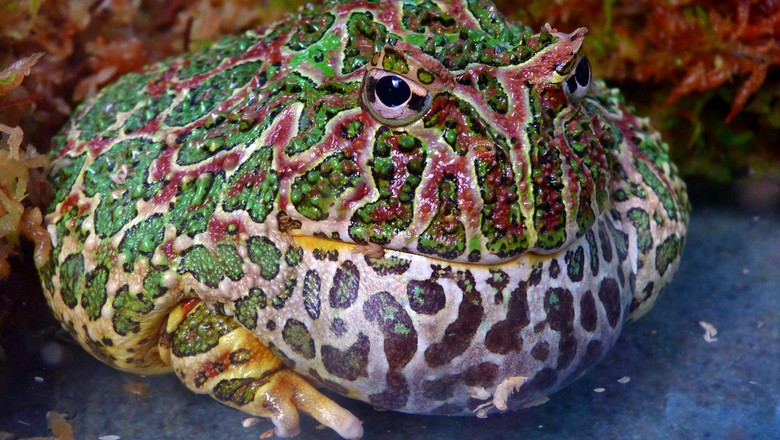 sapo de chifre - pac-man - Ceratophrys ornata (Foto: Flickr/Rusty Clark/Creative Commons)