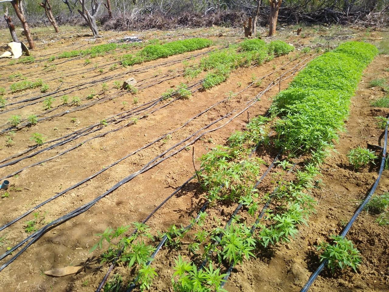 Plantação com 76 mil pés de maconha é encontrada na BA; parte da irrigação era alimentada por energia solar