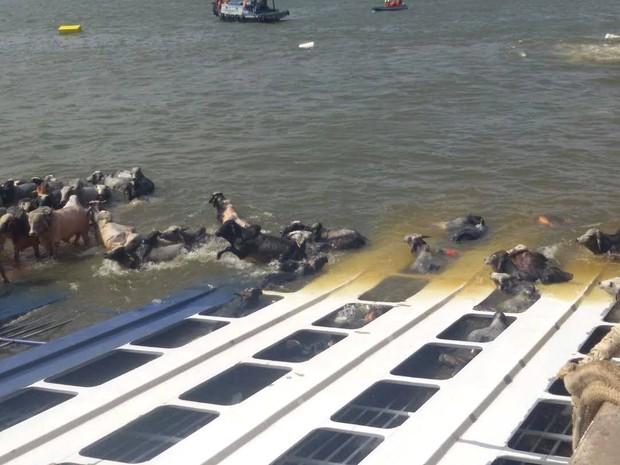 Cerca de 5 mil bois estavam na embarcação que afundou.  (Foto: Renato Pereira/ Arquivo pessoal)