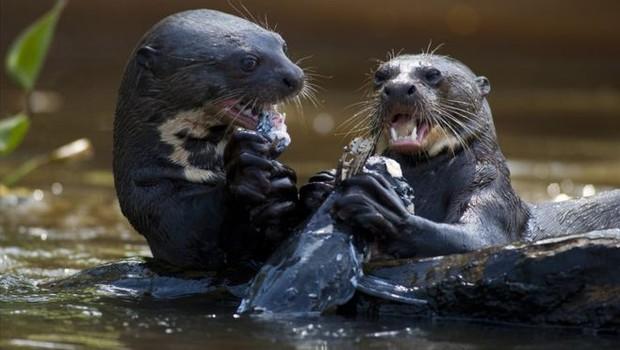 Ariranhas se alimentam em rio (Foto: Getty Images via BBC)