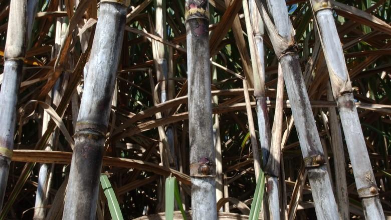 cana_acucar_etanol (Foto: Ernesto de Souza)