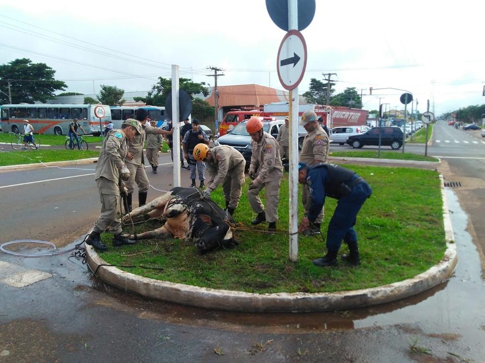 Bombeiros e policiais amarram touro  — Foto: Osvaldo Nóbrega/ TV Morena