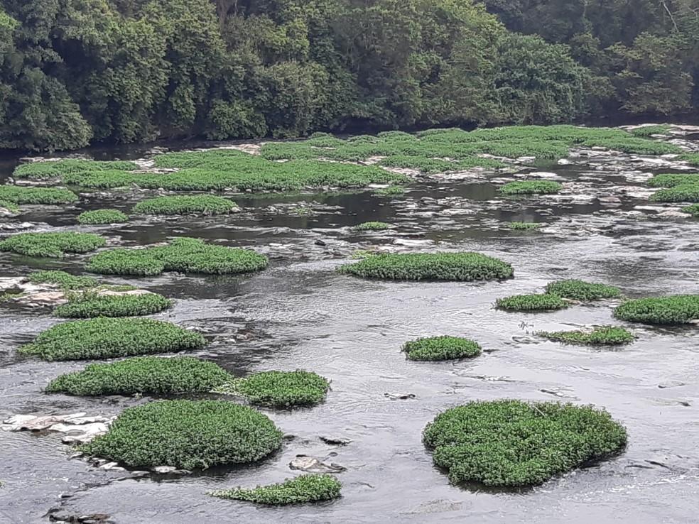 Trecho do Rio Piracicaba tomado de aguapés — Foto: Edijan Del Santo/EPTV