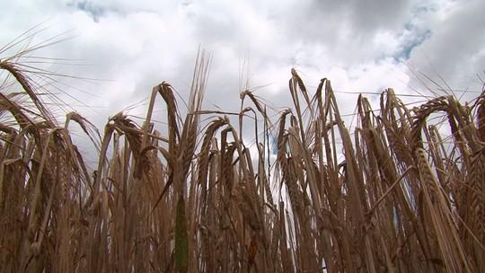 Agricultores colhem mais de 90% da cevada no Paraná