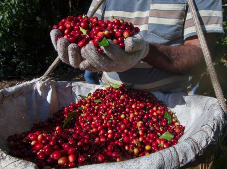 Café (Foto:  Globo Rural/Editora Globo)