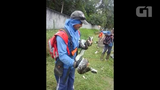 Trabalhadores encontram jiboia de 2 metros em bairro no interior do Acre