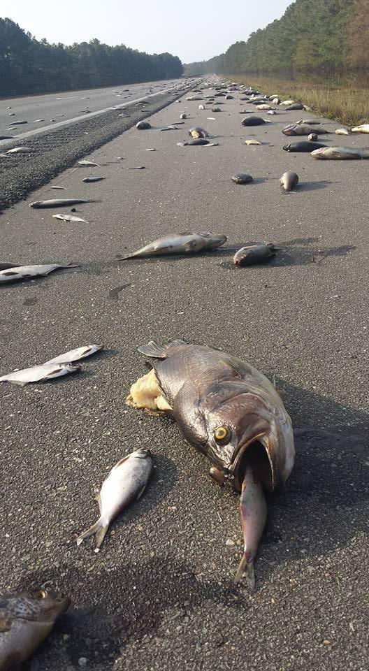 Peixes mortos após passagem do furacão Florence (Foto: Divulgação)