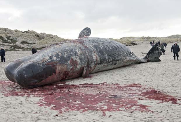 Baleias cachalotes aparecem encalhadas na praia Henne, Dinamarca, na manhã desta segunda-feira (17) (Fot AFP Photo / Scanpix Denmark / Claus Fisker / DENMARK OUT)