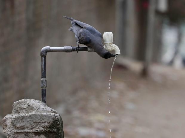 Corvo bebe água de uma torneira durante dia quente em Ahmadabad, na Índia. O governo da Índia estima que cerca de 330 milhões de pessoas, um quarto da população, esteja sendo afetada pela seca que se abate em 10 dos 29 estados do país (Foto: Ajit Solanki/AP)