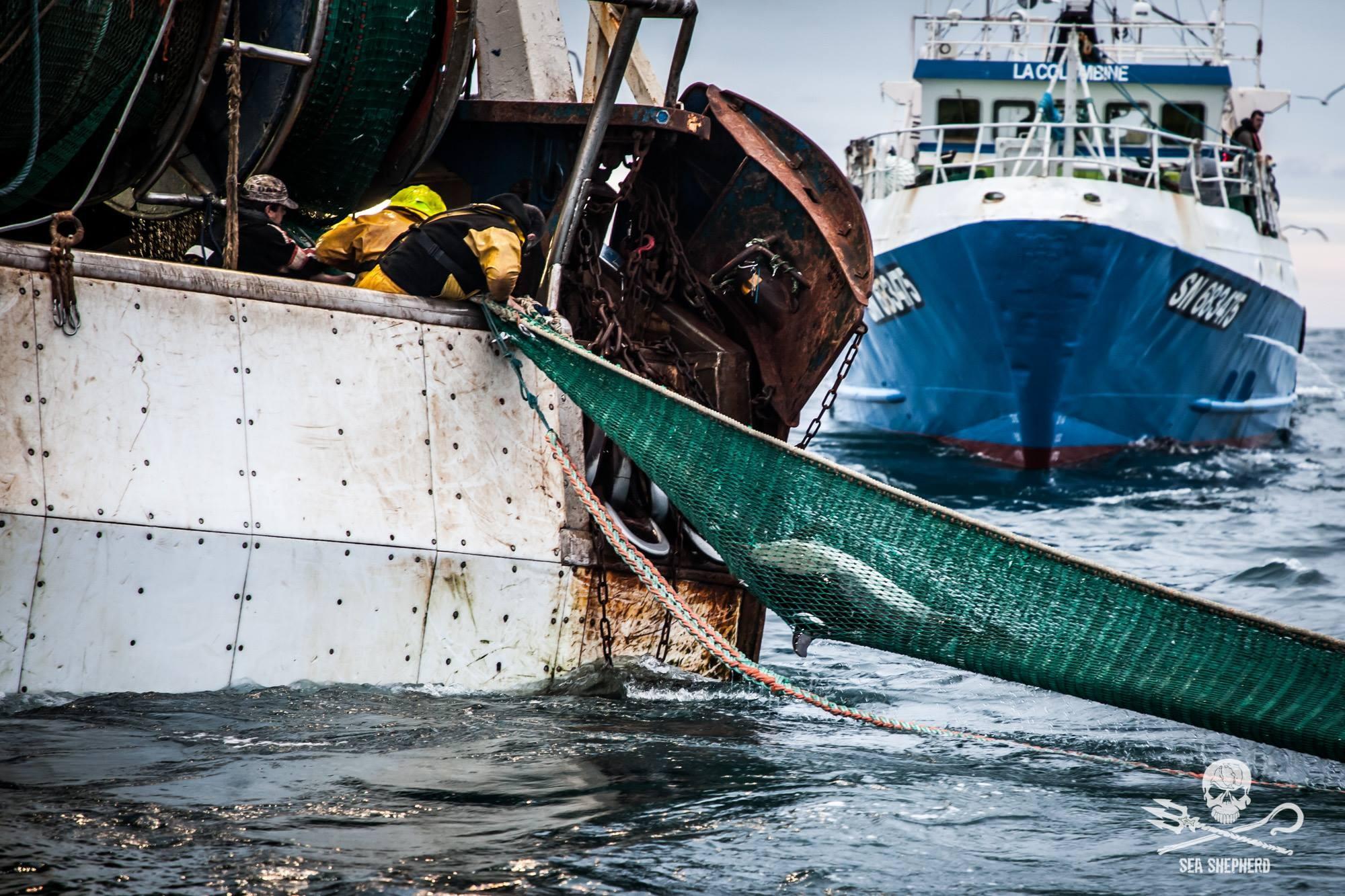Mais de mil golfinhos já morreram este ano na França por causa da pesca