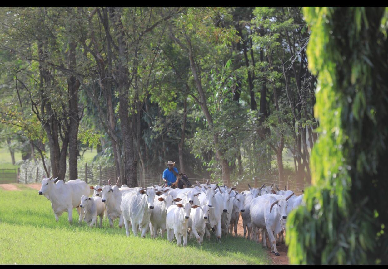 nelore-leilão-gado-rebanho (Foto: Divulgação)