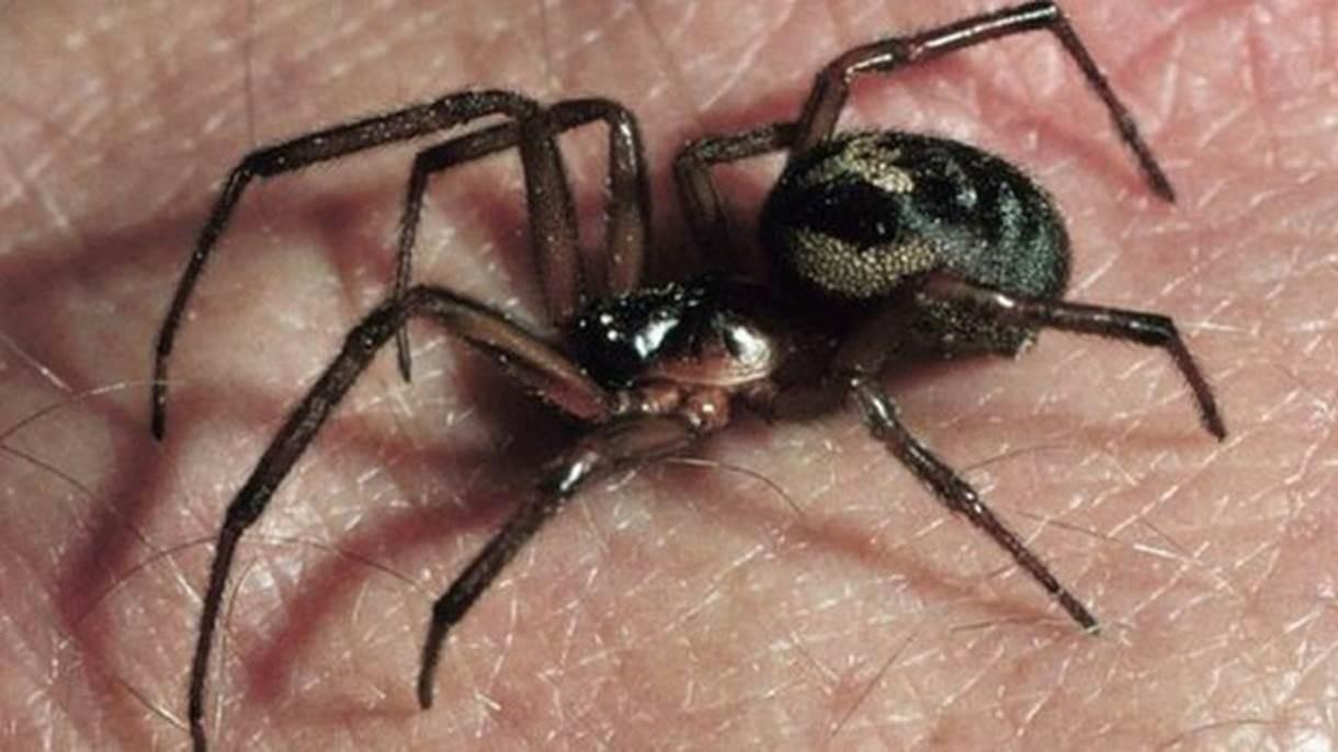 - falsa viuva negra - Aranha 'devora' e mumifica lagarto