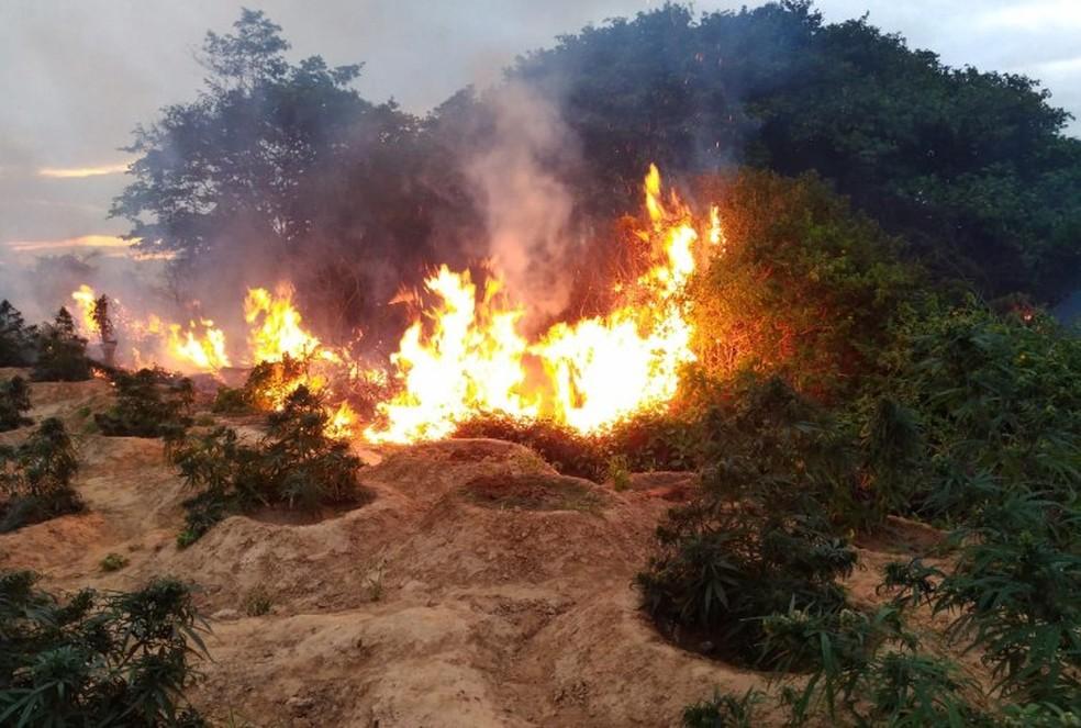 Erradicação de maconha na Ilha de Assunção em Cabrobó — Foto: Divulgação/ 2ª CIPM