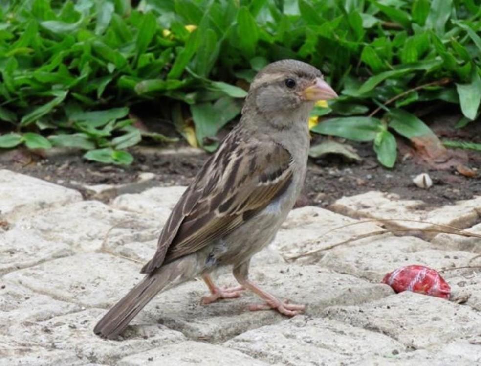 Antes um dos pássaros mais comuns de São Paulo, pardal está se tornando mais raro — Foto: Direito de imagem/JOSÉ CARLOS MOTTA-JUNIOR/Image caption