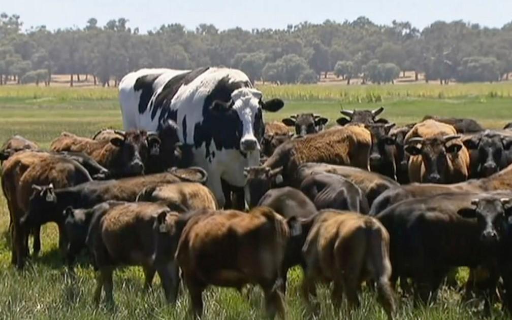 'Boi gigante' vai viver o resto da vida pastando no confinamento de Lake Preston, na Austrália — Foto: Channel 7's Today Tonight via AP