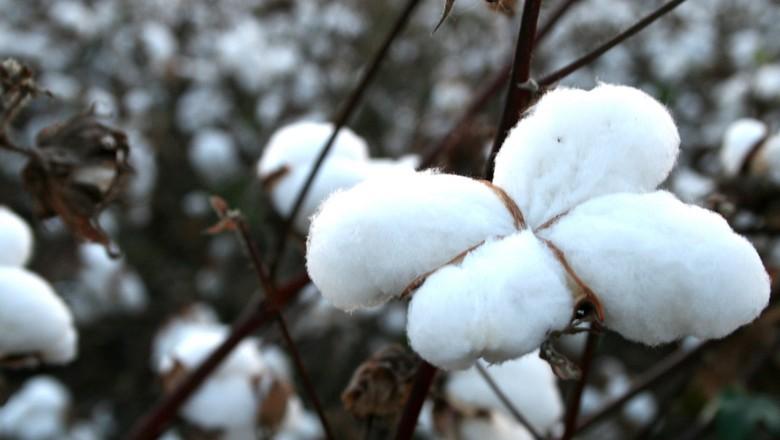 algodao-lavoura-safra-pluma (Foto: Lindsey Turner/CCommons)