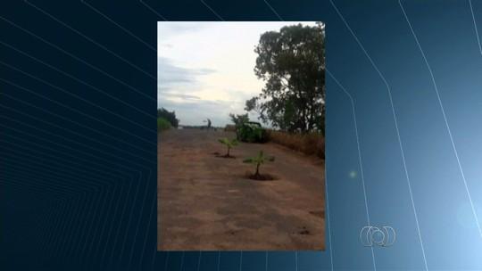 Motoristas protestam e plantam bananeiras em buracos na GO-305